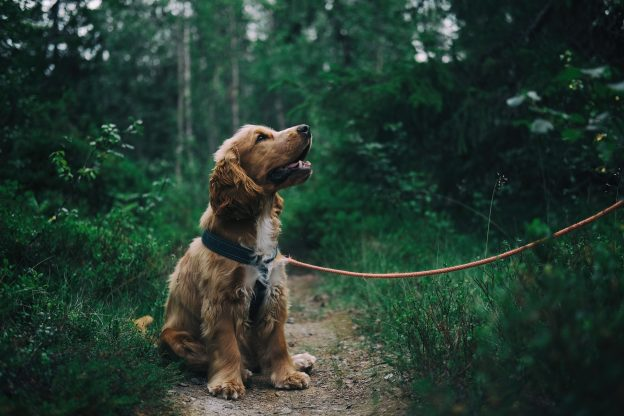 Dog being walked in a wood